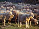 Die Schafe verschwanden spurlos.