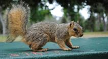 Eichhörnchen im Balboa Park.