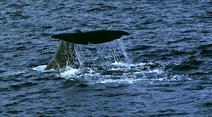 Am Freitag informierte die japanische Fischereibehörde die Internationale Walfangkommission, dass der Fang wiederaufgenommen werde. (Symbolbild)