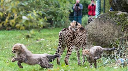Junge Geparden vergnügen sich im Zoo Basel.