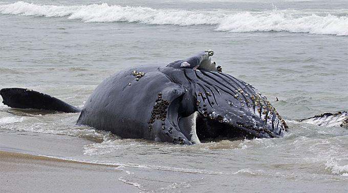 Ein toter Buckelwal. (Symbolbild)